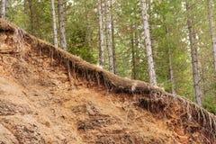 En raison exposé par racines d'arbre de l'érosion du sol image stock