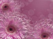 En ram av vita gerberas på en purpurfärgad bakgrund Royaltyfria Foton