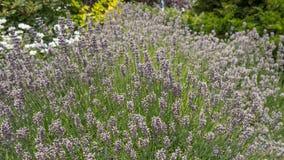 En ram mycket av lavendel växa i trädgård royaltyfri bild