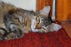 En randig katt ligger på mattan Hemhjälp cat royaltyfria bilder