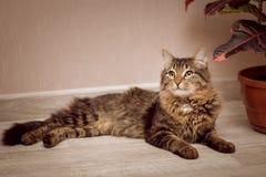 En randig päls- katt ligger bredvid en fikus i en kruka royaltyfri fotografi