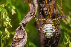 En randig spindel royaltyfri bild