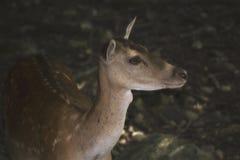 En raring i en zoo Arkivfoto