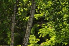 En Redwing på en björkfilial Grön bakgrund med lämnar arkivfoto
