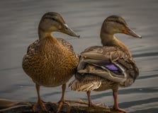 En regardant l'avant et le dos d'un canard penchez-vous photographie stock libre de droits