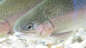En regnbågeforell att fiska i slut upp på en fiskbehållare arkivfilmer