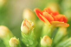 En regndroppe på blomman Royaltyfri Fotografi