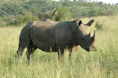 En rhinocerous vit Royaltyfri Foto