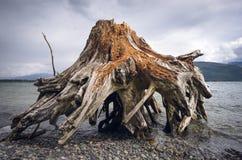 En riden ut stubbe som tvättas upp på kust royaltyfria foton