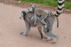 En Ring Tailed Lemur Lemur Catta Royaltyfria Foton