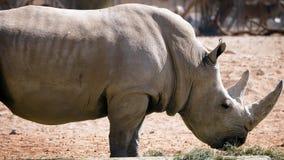 En rinoceros die lopen eten stock video