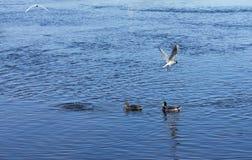 En rivière, de petits poissons sont pêchés et deux canards sauvages se baignent Beau concept de nature sauvage Photo stock
