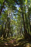 En ro av trees längs en smutsbana i en skog med starkt skuggar Arkivbild