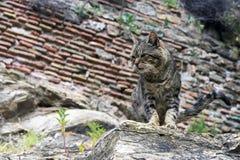 En rolig gjord randig brun tillfällig katt sitter på vaggar av den samma färgen Maskera ett djur royaltyfria bilder