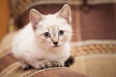 En rolig grå kattunge sitter på soffan och de gulliga blickarna på dig Royaltyfri Bild