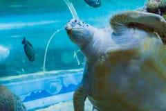 En rolig och ilsken framsidacloseup av en sällsynt havssköldpadda för gräsplan som eller för loggerhead förbi simmar och säger hä arkivfoto
