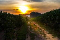 En romantisk solnedgång i cornfielden På vägen till solen Arkivbilder