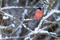 En roosting domherre i ett vinterlandskap Arkivfoton