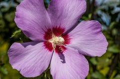 En ros av sharon oavkortad blom arkivbild