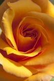 En ros med grön bakgrund Royaltyfri Bild