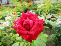 En ros med regndroppe i morgonen Arkivfoto