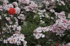 En ros mellan blommor arkivfoton