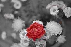 En ros som står ut från Lilliesen Royaltyfri Bild