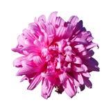 En rosa astercallistephusblomma som isoleras på vit Royaltyfria Bilder