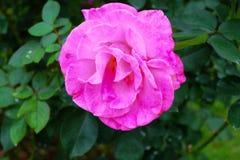 En rosa blomma i min trädgård arkivbild