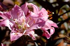 En rosa blomma med en gul mittblomma Arkivbilder