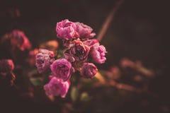 En rosa blomning i vintern med ett delikat sol- ljus royaltyfria bilder