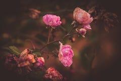 En rosa blomning i vintern med ett delikat sol- ljus royaltyfria foton