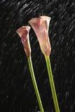 En rosa cala lilja som isoleras på svart Arkivbilder