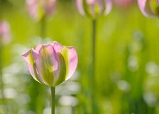 En rosa färg- och gräsplantulpan Royaltyfri Foto
