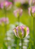En rosa färg- och gräsplantulpan Royaltyfria Foton