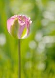 En rosa färg- och gräsplantulpan Arkivbilder