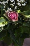 En rosa färgros i sidor Royaltyfri Foto