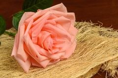 En rosa färgros på en mörk bakgrund Royaltyfria Foton