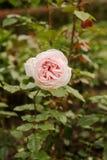En rosa färgrosblomning Royaltyfri Foto