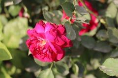En rosa f?rgros i en tr?dg?rd royaltyfria foton