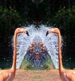 Rosa Flamingos och bevattnar springbrunnen Royaltyfri Foto