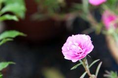 En rosa japan steg i en parkera med grön bakgrund Royaltyfria Foton
