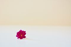 En rosa kalanchoeblomma Royaltyfri Fotografi
