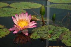 En rosa lilja Royaltyfria Bilder