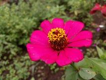 En rosa ljus blomma Arkivfoton