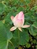 En rosa lotusblomma Royaltyfria Bilder