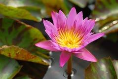 En rosa lotusblomma i dammet i horisontalsikt Royaltyfri Foto