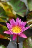 En rosa lotusblomma i dammet i vertikal sikt Royaltyfria Foton