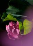 En rosa lotusblommablomma Arkivfoton
