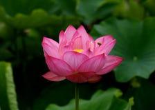 En rosa lotusblommablomma Royaltyfria Bilder